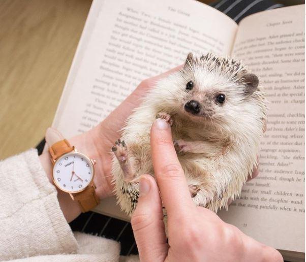 hedgehog with book