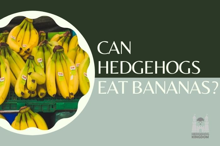 Can Hedgehogs Eat Bananas and how often