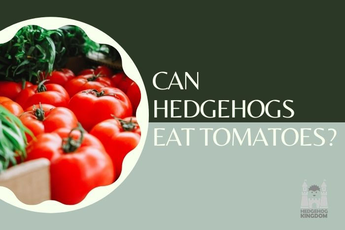 Can Hedgehogs Eat Tomatoes