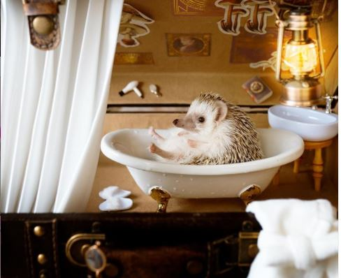hedgehog bathing