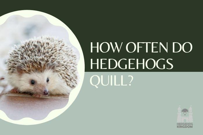 hedgehog quill