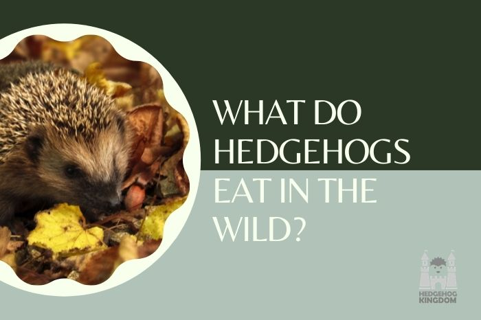 hedgehog eating in the wild
