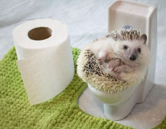 hedgehog sitting on the toilet