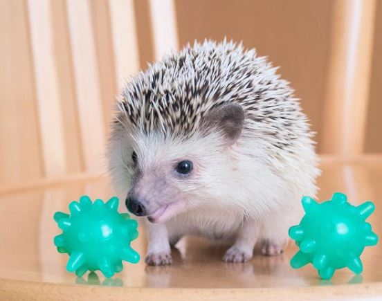 hedgehog playing with toys