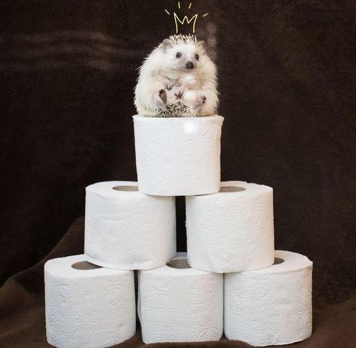 hedgehog on toilet papper