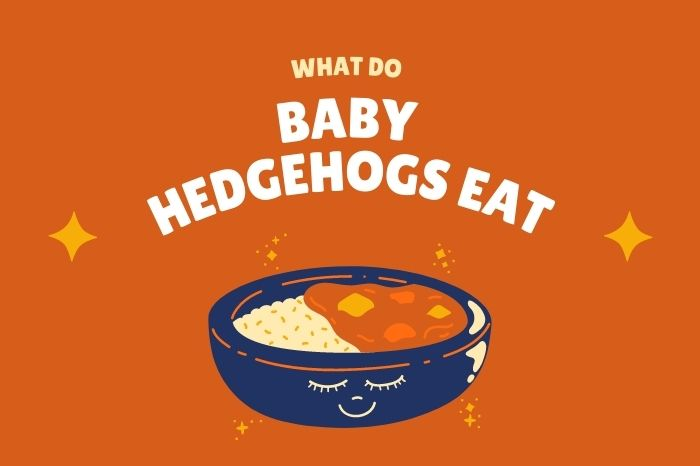 what do baby hedgehogs eat